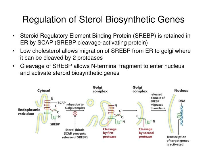 Regulation of Sterol Biosynthetic Genes