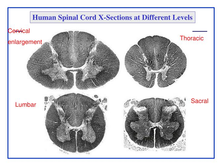 Human Spinal Cord X-Sections at Different Levels