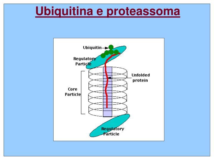 Ubiquitina e proteassoma