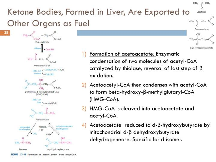 Ketone Bodies, Formed in Liver, Are Exported to Other Organs as Fuel
