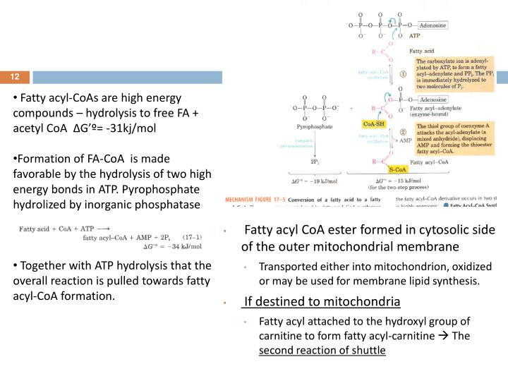 Fatty acyl-CoAs are high energy compounds – hydrolysis to free FA + acetyl CoA  ∆G'º= -31kj/mol