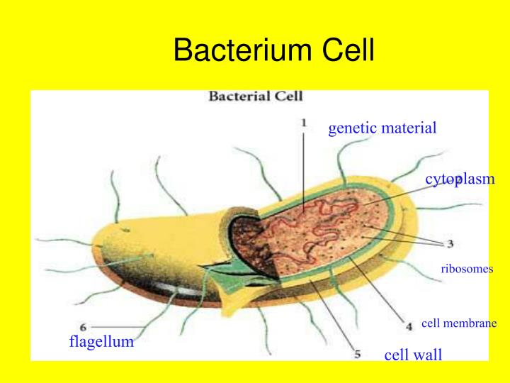 Bacterium Cell