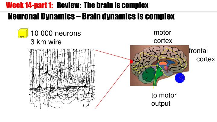 Neuronal dynamics brain dynamics is complex