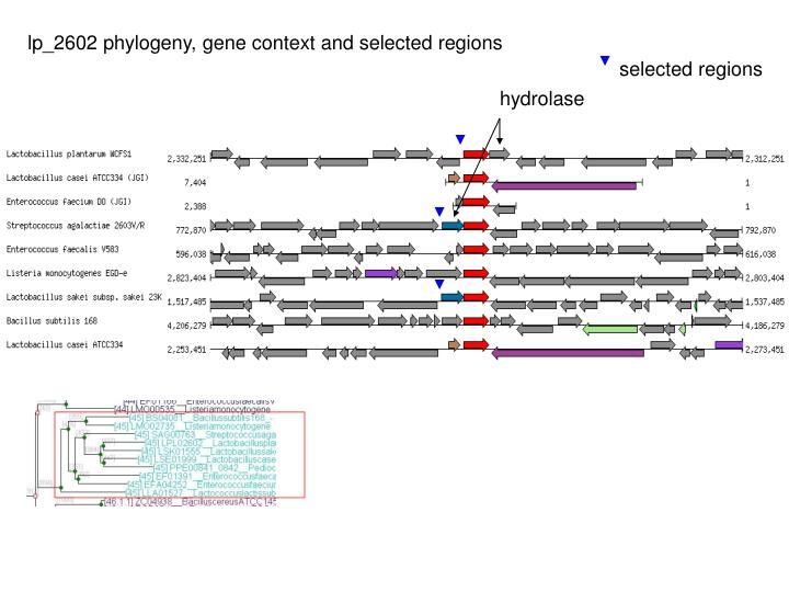 lp_2602 phylogeny, gene context and selected regions