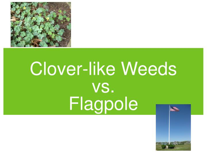 Clover like weeds vs flagpole
