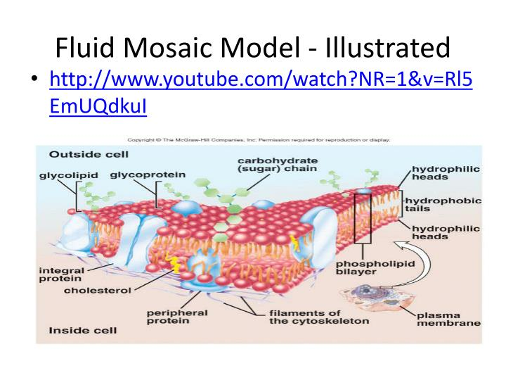 essays about fluid mosaic model We therefore don t know for sure exactly what s going on, however, the fluid mosaic model is generally accepted as describing how membranes are arranged.