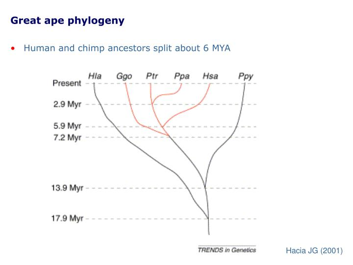 Great ape phylogeny