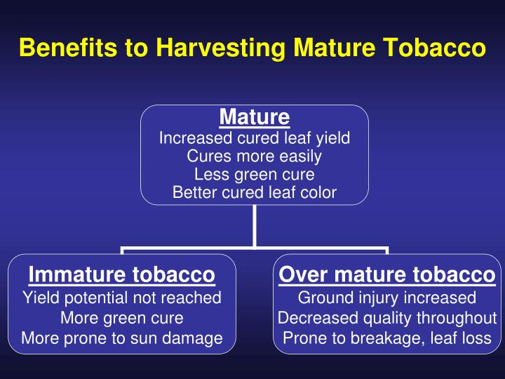 Benefits to Harvesting Mature Tobacco
