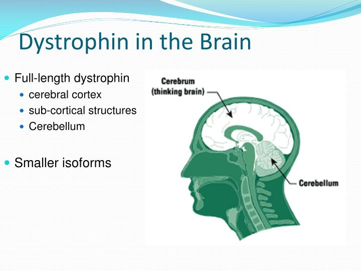 Dystrophin in the Brain