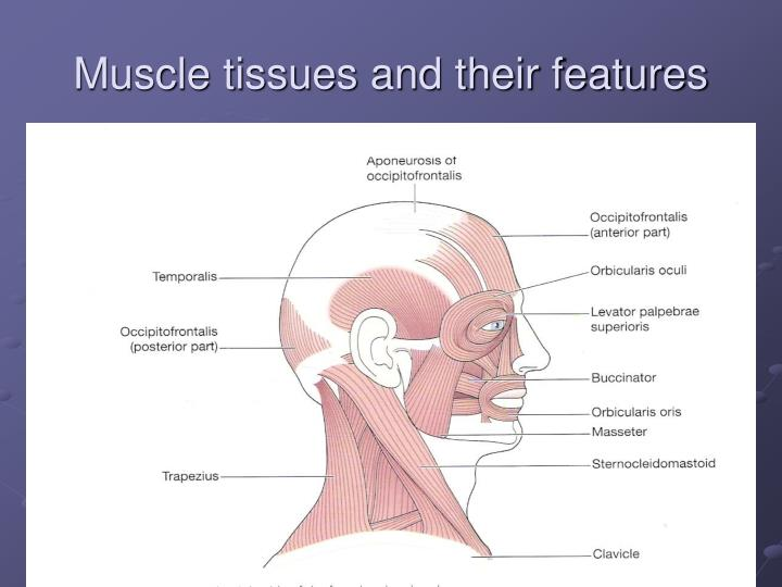 Muscle tissues and their features