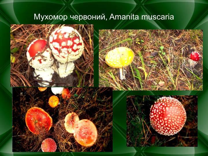 , Amanita muscaria