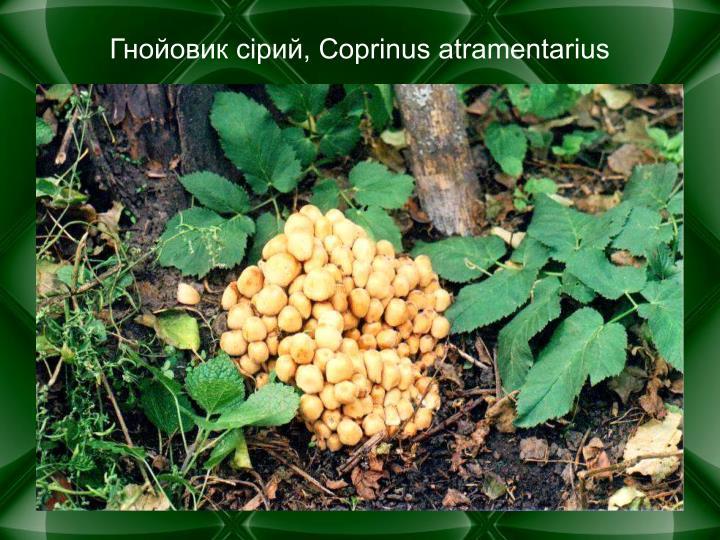 , Coprinus atramentarius