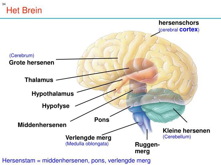 hersenen emoties