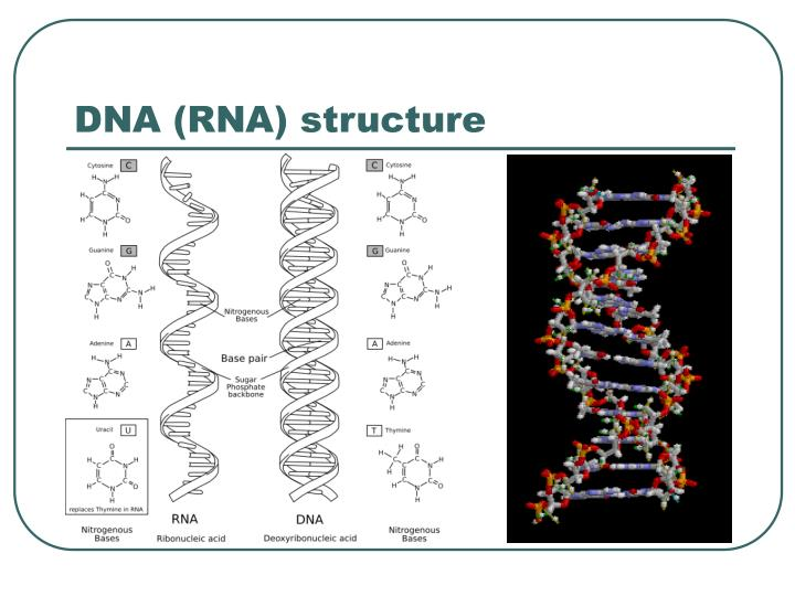 DNA (RNA) structure
