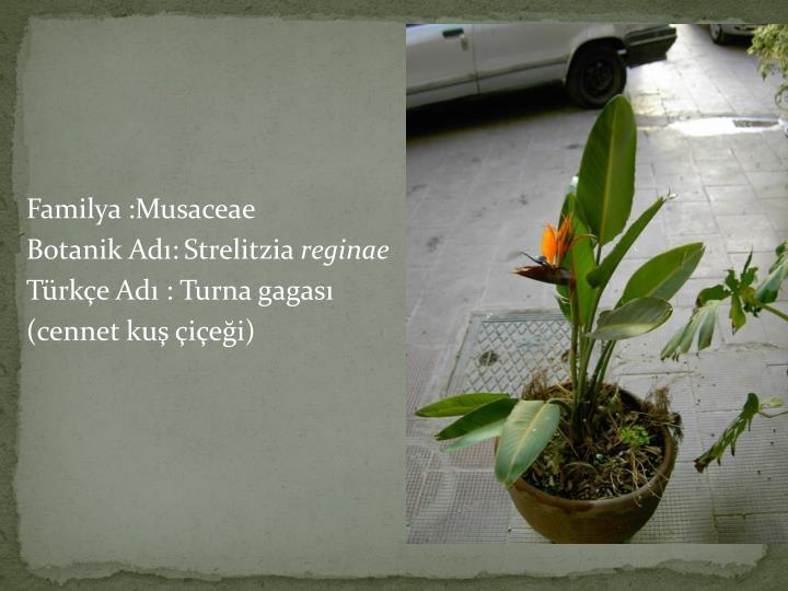 Familya :Musaceae