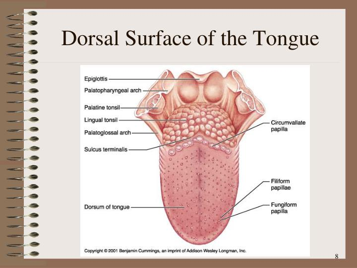 Dorsal Surface of the Tongue