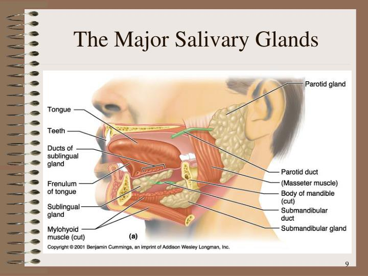 The Major Salivary Glands