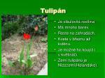 tulip n