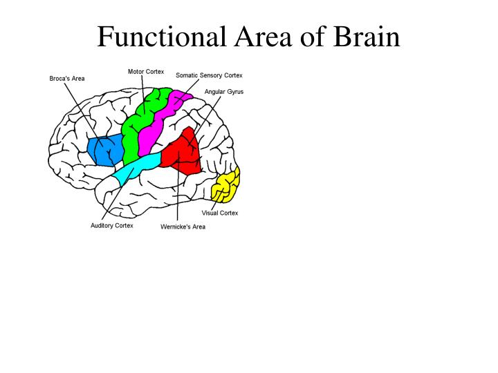 Functional Area of Brain