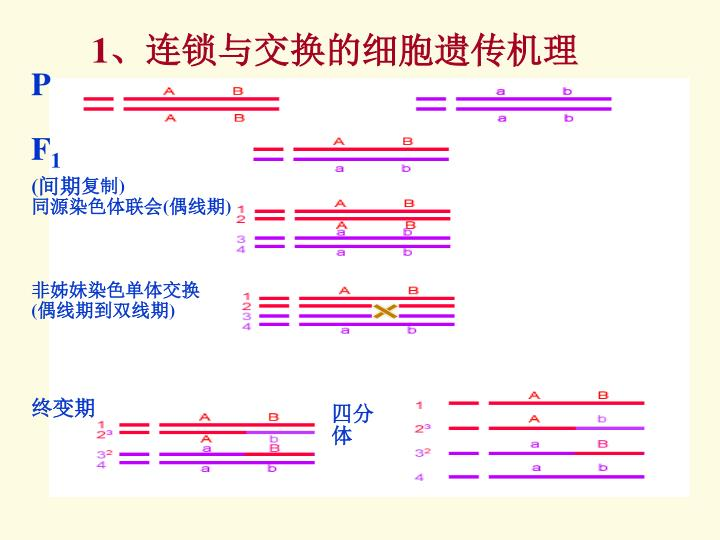 1、连锁与交换的细胞遗传机理