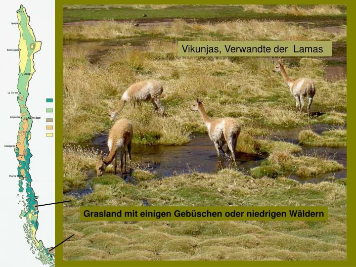 Vikunjas, Verwandte der  Lamas