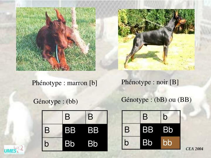 Phénotype : noir [B]