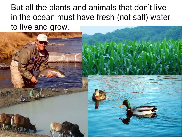 But all the plants and animals that don't live in the ocean must have fresh (not salt) water to live and grow.