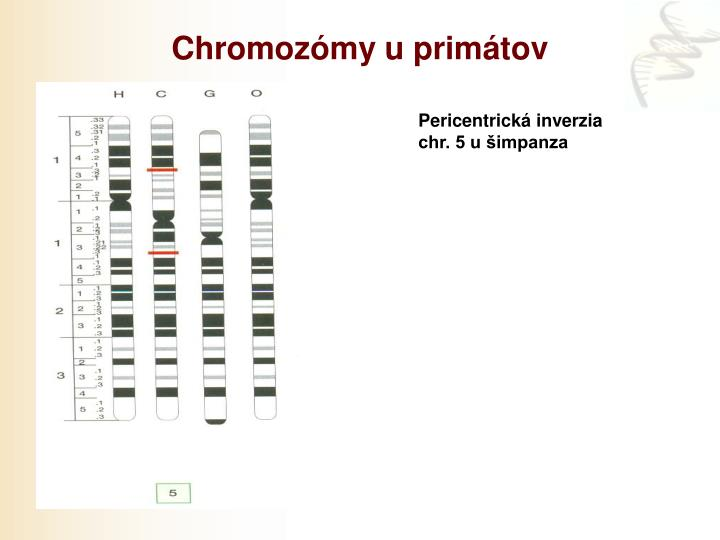 Chromozómy u primátov