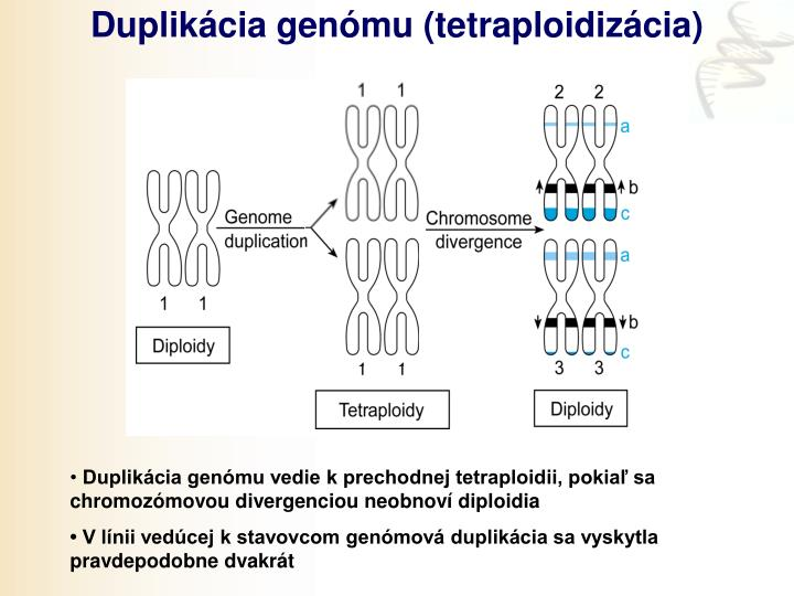 Duplikácia genómu (tetraploidizácia)