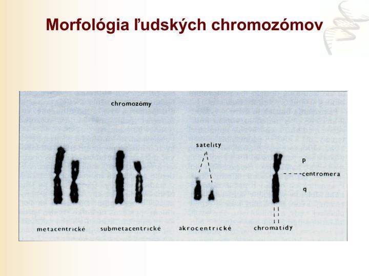 Morfológia ľudských chromozómov