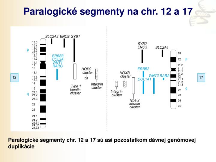 Paralogické segmenty na chr. 12 a 17