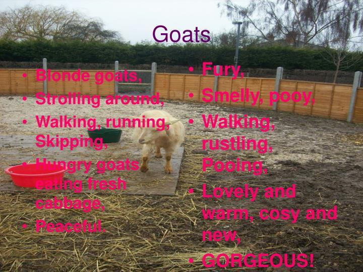 Blonde goats,