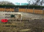 the goats1