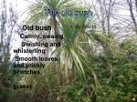 the old bush
