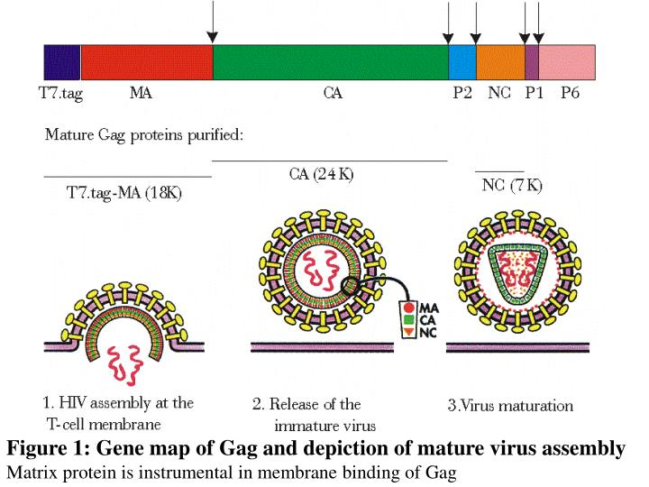 Figure 1: Gene map of Gag and depiction of mature virus assembly