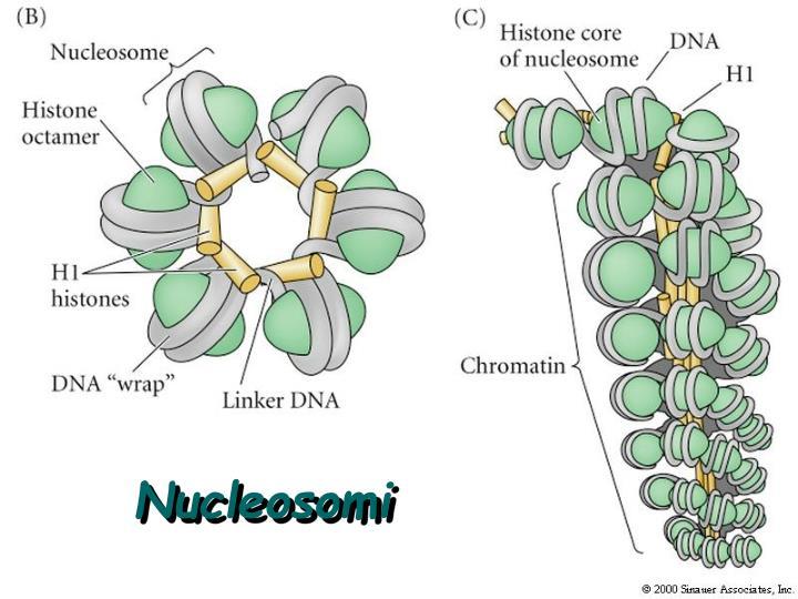 Nucleosomi
