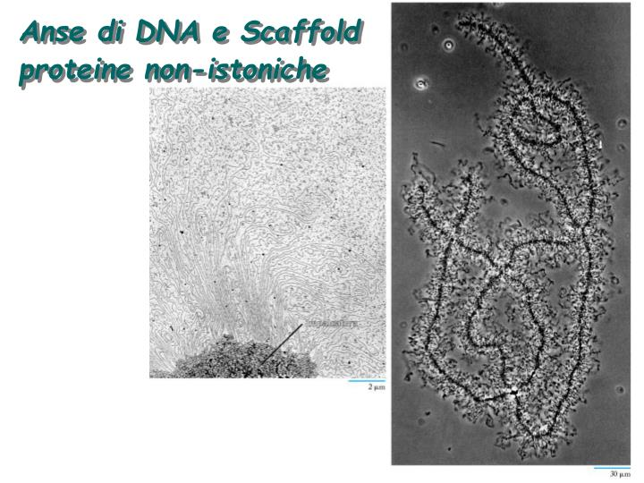 Anse di DNA e Scaffold  proteine non-istoniche