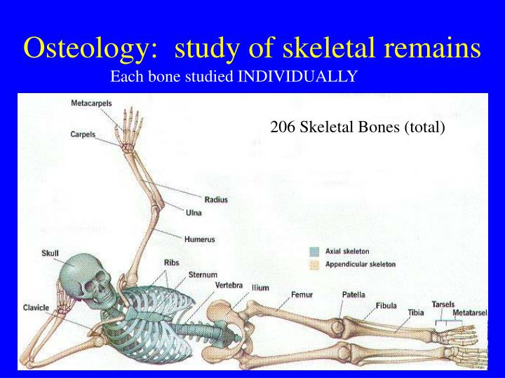 Osteology:  study of skeletal remains