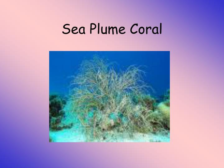 Sea Plume Coral