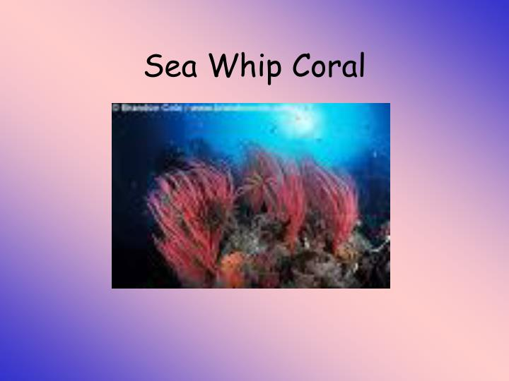 Sea Whip Coral
