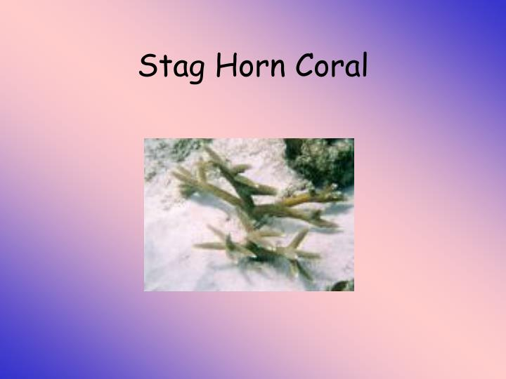 Stag Horn Coral
