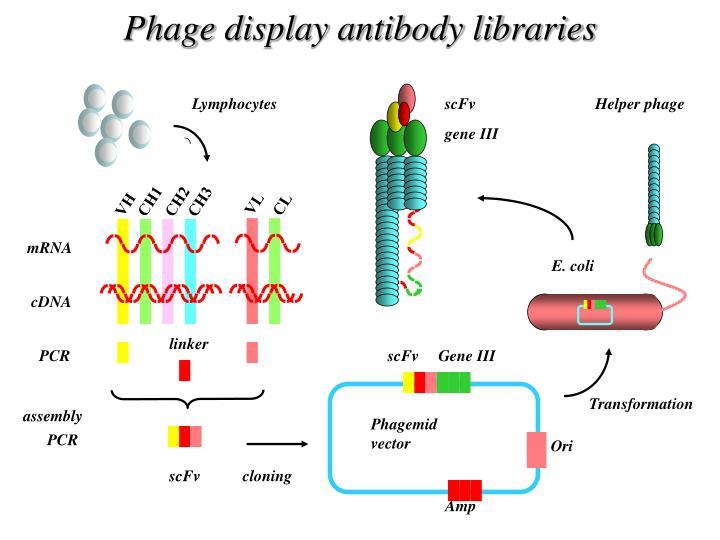ppt - interattori molecolari nel controllo della tolleranza immune powerpoint presentation