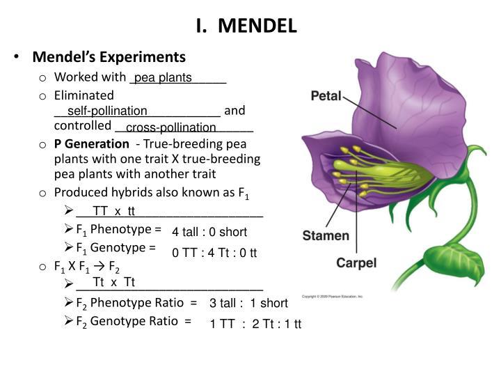 I.  MENDEL