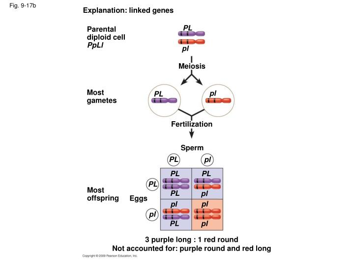 Explanation: linked genes