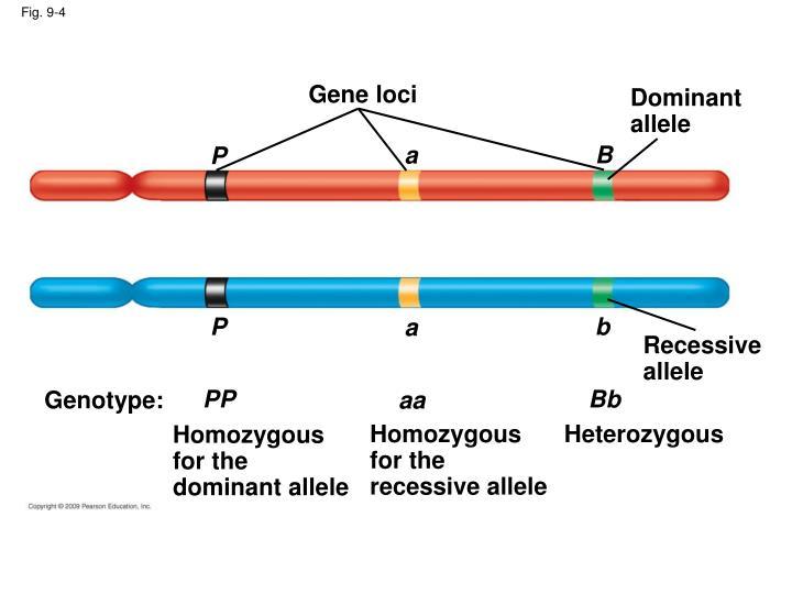 Gene loci