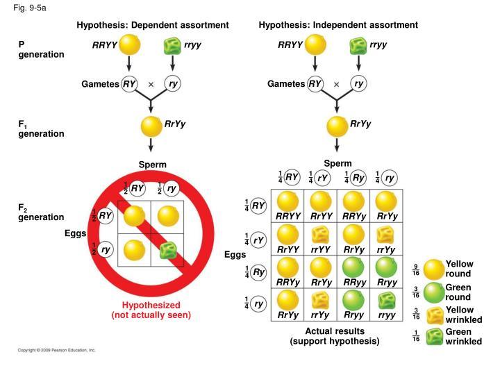 Hypothesis: Independent assortment