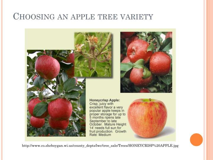 Choosing an apple tree variety