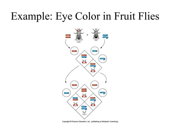 Example: Eye Color in Fruit Flies