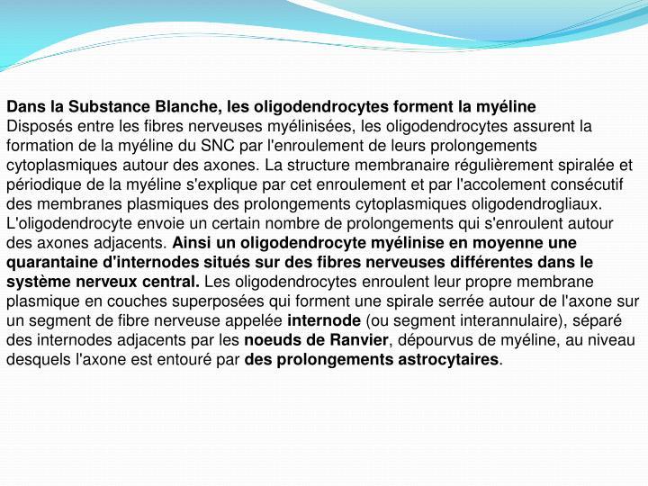 Dans la Substance Blanche, les oligodendrocytes forment la myéline