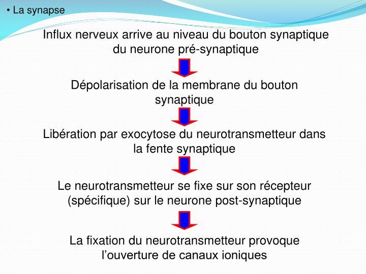 La synapse